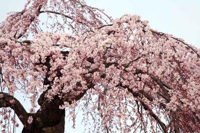 Hirosaki_sakura