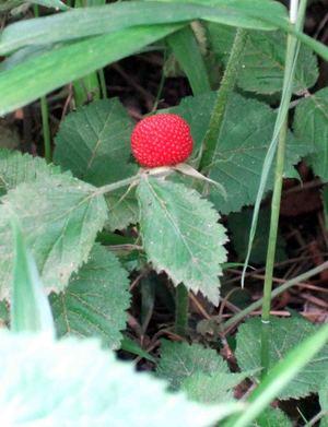 wild_strawberry